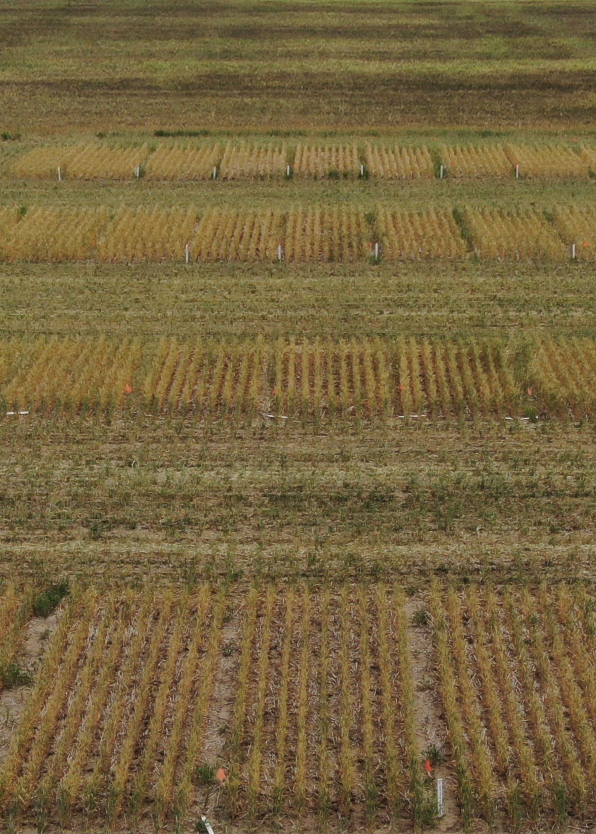 Increasing Seeding Rate to manage FHB in Wheat